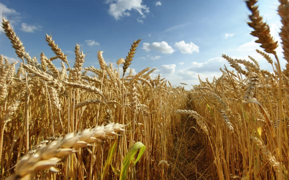 Romanian crop production up by 12.4 pct in 2017 to 24.5 mln tonnes
